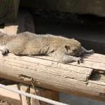 昼寝しているタイワンリス