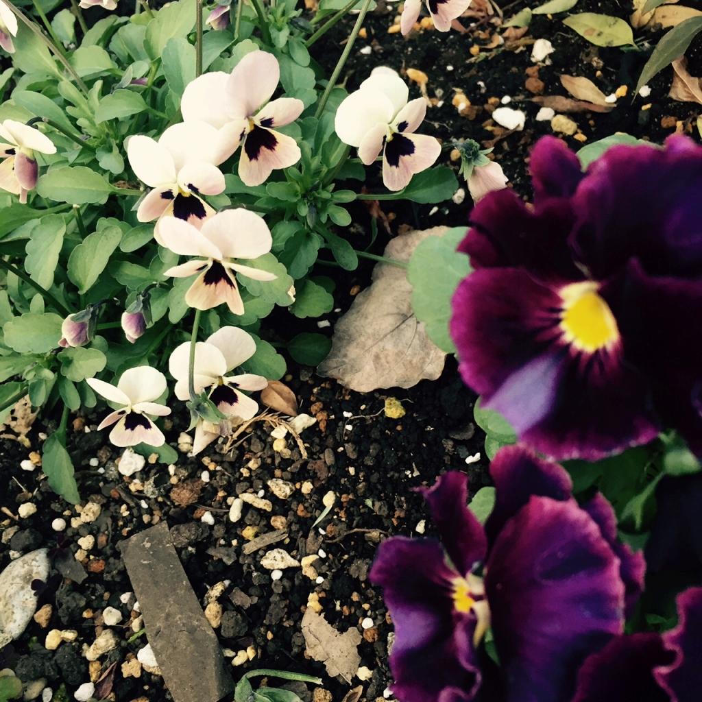 工房の花壇のビオラ