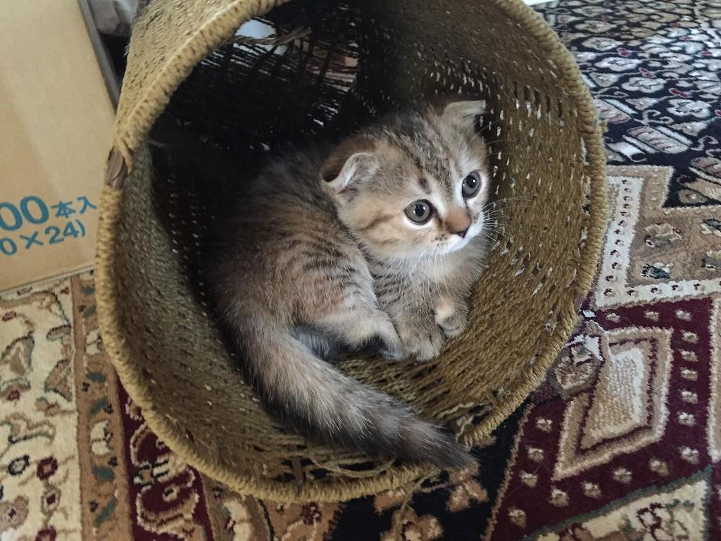 マンチカンの猫
