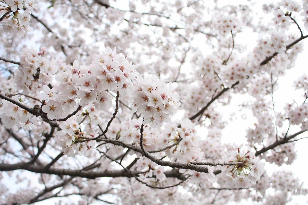 望地キャンプ場の桜