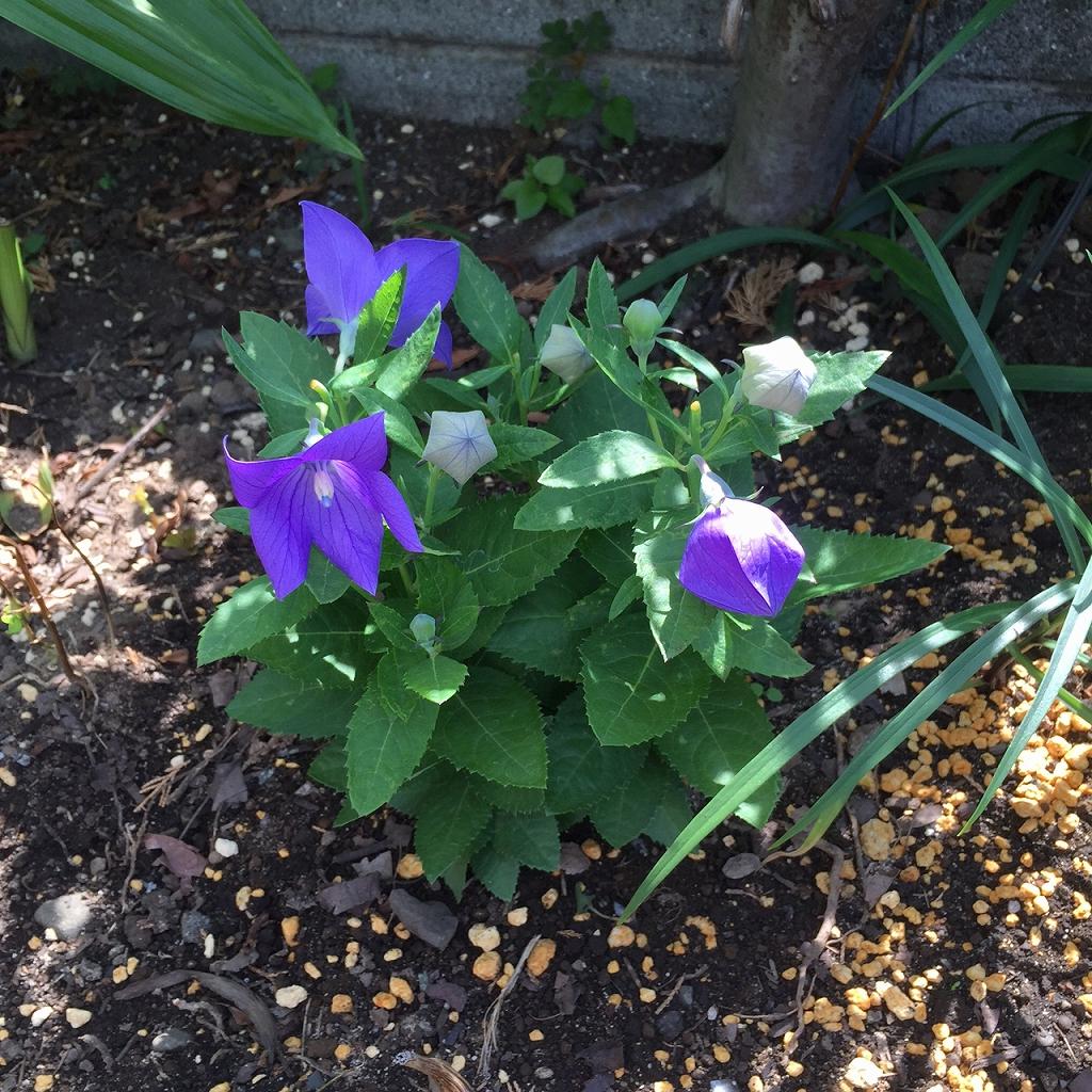 工房の花壇の桔梗