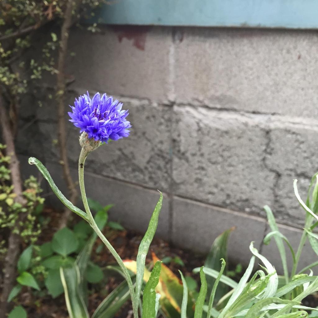 工房の花壇の矢車草
