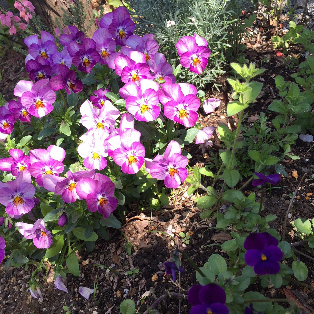 花壇の花たち
