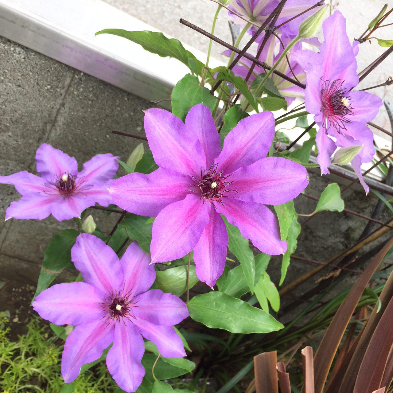 工房の花壇のクレマチス