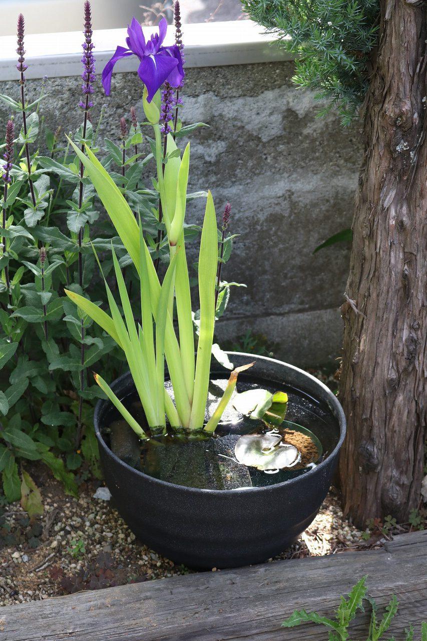 工房の花壇のカキツバタ